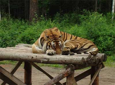 tigerpark-resting.jpg