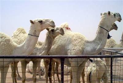 CamelPaegent.jpg