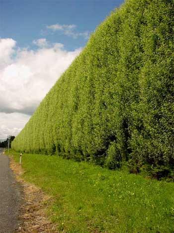 hedge1.jpg